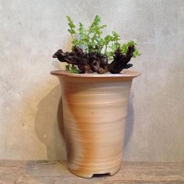 ぺラルゴニウム  アルテナンス  no.3   Pelargonium alternans