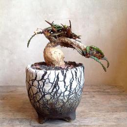 ユーフォルビア    フランコイシー     no.04    Euphorbia francoisii