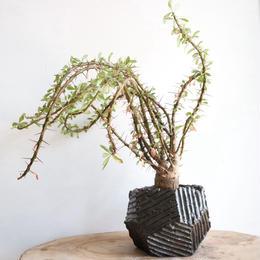 フォークイエリア   プルプシー×ファシクラータ   no.001  Fouquieria   purpusi  ×  fasciculata
