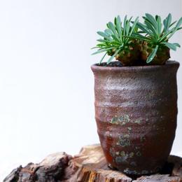 ユーフォルビア   我眉山    no.004   Euphorbia 'Gabizan'