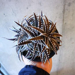 Dyckia (Arizona × choristaminea) × (Brittle Star × Bill paylen) Bill Baker hybrid     014