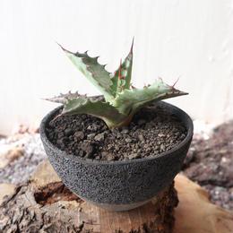 アガベ   パラコロラータ   no.001  Agave  Parracolorata   (parrasana  ×  colorata)