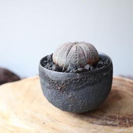 ユーフォルビア  オベサ   no.023    Euphorbia obesa