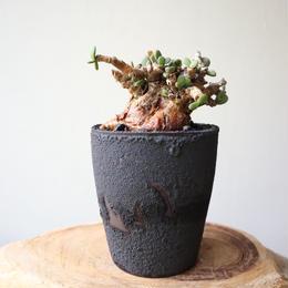 ケラリア  ピグマエア  no.028    Ceraria pygmaea