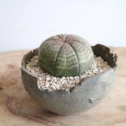 ユーフォルビア  オベサ   no.019  Euphorbia obesa