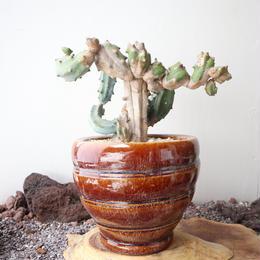 竜神木   no.004   Myrchillocactus geometorizans