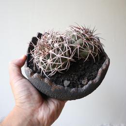 ギムノカリキウム 猫爪天平丸  no.001  Gymnocalycium spegazzinii