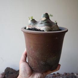 アデニア   グラウカ  no.022   Adenia glauca