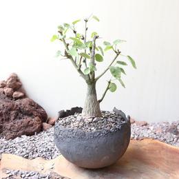 アデニア     スピノーサ    no.003  Adenia     spinosa