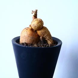 プテロカクタス ツベローサス   黒竜     Pterocactus tuberosus   No.31023
