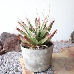 レウクテンベルギア  晃山  ×  大森健司     Leuchtenbergia principis