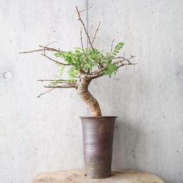 ボスウェリア  ネグレクタ    no.006   Boswellia neglecta