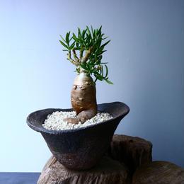 パキポディウム ビスピノーサム  Pachypodium bispinosum No.008