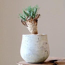 ユーフォルビア    ラミグランス   Euphorbia ramiglans