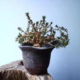 トリコディアデマ ブルボーサム Trichodiadema bulbosum  No.030
