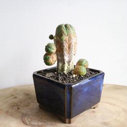 ユーフォルビア   オベサ梵天   no.021   Euphorbia 'Obesa Bonten'