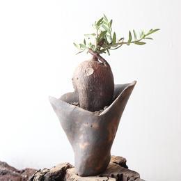 パキポディウム   ビスピノーサム   no.010   Pachypodium bispinosum