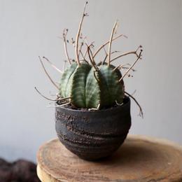 ユーフォルビア  バリダ   no.034   Euphorbia valida