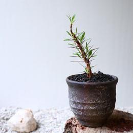 フォークイエリア   プルプシー  no.030  Fouquieria purpusii