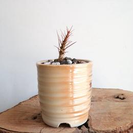 フォークイエリア   プルプシー  no.008  Fouquieria purpusii