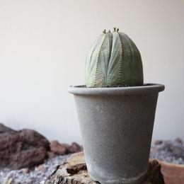 ユーフォルビア  オベサ   no.003    Euphorbia obesa
