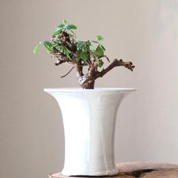 ユーフォルビア  sp.      Euphorbia sp.Gof choba