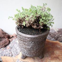 ペラルゴニム   アルテルナンス  no.002    Pelargonium alternans