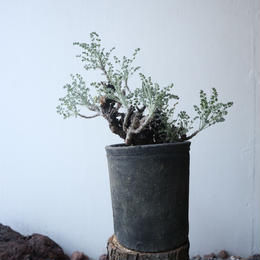ペラルゴニム   アルテルナンス  no.003    Pelargonium alternans