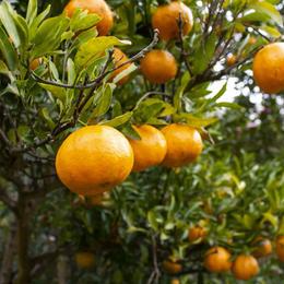 【超貴重】農薬・肥料不使用 自然栽培ポンカン 5kg