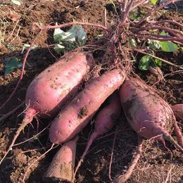 【超貴重】自然栽培「安納芋」2kg  市場では出回らない収穫仕立ての上品な甘さをお届け