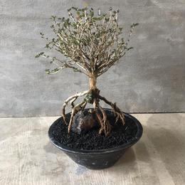 盆栽 香丁木 1