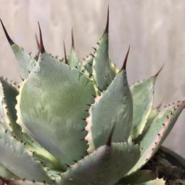 アガベ 雷神 ポタトラム錦 agave potatorum 2
