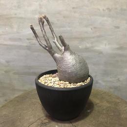 パキポディウム グラキリス  200 塊根植物 コーデックス 現地球