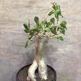 アデニウム アラビカムハイブリット adenium arabicum バオバブファーム