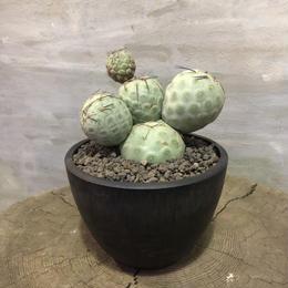 テフロカクタスゲオメトリクス 接木 16 サボテン カクタス