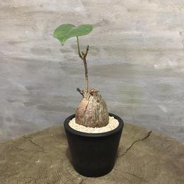 プセウドボンバックス エリプティクム塊根植物 コーデックス  現地球
