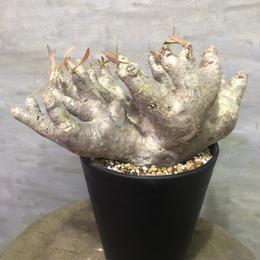 パキポディウム イノピナーツム   塊根植物 コーデックス現地球