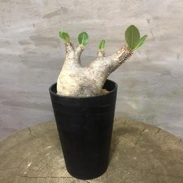 パキポディウム  エニグティカム 20 塊根植物 コーデックス  現地球