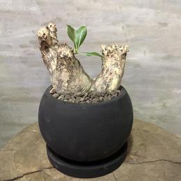 パキポディウム エニグマチカム 25 塊根植物 コーデックス 現地球