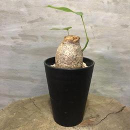 プセウドボンバックス エリプチカム  Pseudobombax ellipticum 16 塊根植物 コーデックス 現地球