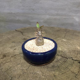 パキポディウム  マカイエンセ 32  実生 塊根植物 コーデックス