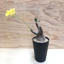 パキポディウム カクチペス 10 塊根植物