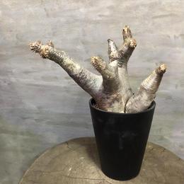 パキポディウム エニグマチカム 24 塊根植物 コーデックス 現地球