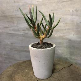 アロエ ラモシシマ 多肉植物塊根植物 コーデックス