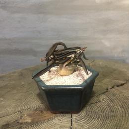 ユーフォルビア キリンドフォリア  1  塊根植物 コーデックス 実生