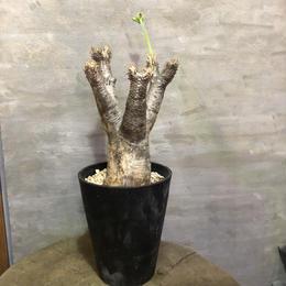 パキポディウム エニグマチカム 26 塊根植物 コーデックス 現地球