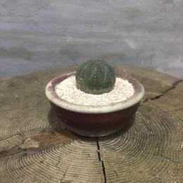 ユーフォルビア オベサ 31 塊根植物 コーデックス 実生