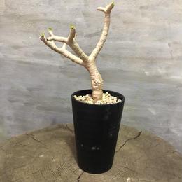 オトンナ フルカタ 塊根植物 コーデックス  現地球