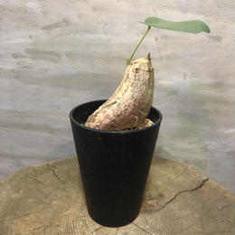 プセウドボンバックス エリプチカム Pseudobombax ellipticum 18 塊根植物 コーデックス 現地球