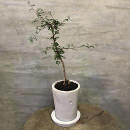 オペルクリカリア デカリー  40 塊根植物 コーデックス 現地球